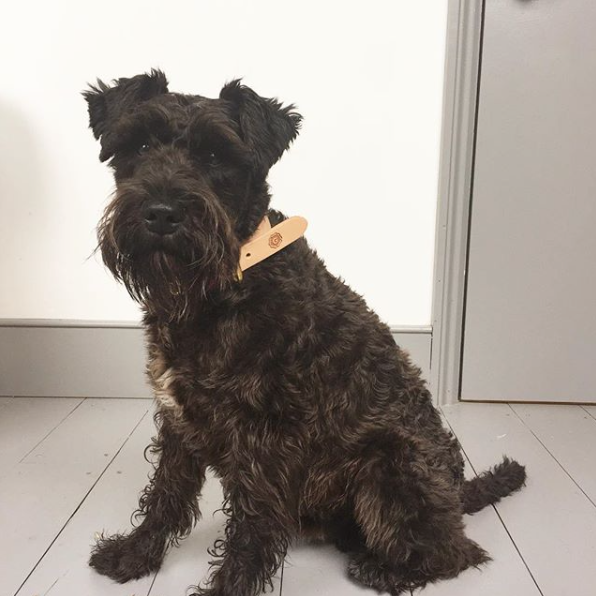 Grenson wearing Grenson dog collar